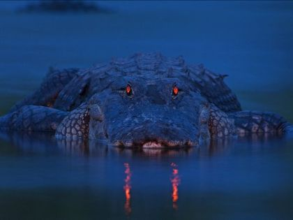 evening-alligator-florida_50504_600x450