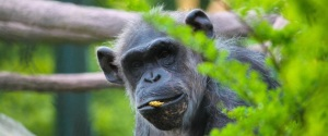 Vicky The Chimp Dies in Chicago
