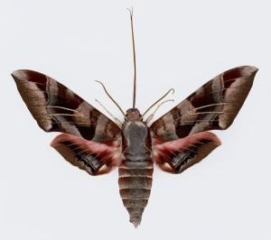 A giant hawk moth_Eumorpha typhon